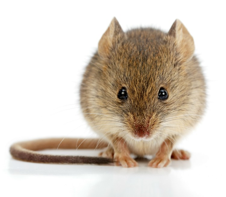 Rodent Control Service in Salem SC